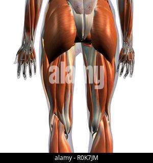 Hintere Ansicht der weiblichen Beinmuskeln auf weißem Hintergrund. - Stockfoto