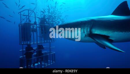 Weißer Hai schwimmt von Tauchern in einer Shark Cage. - Stockfoto