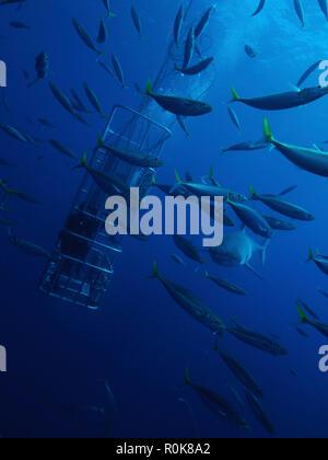 Taucher Feed einen großen weißen Hai einige Jack Makrelen Köder. - Stockfoto