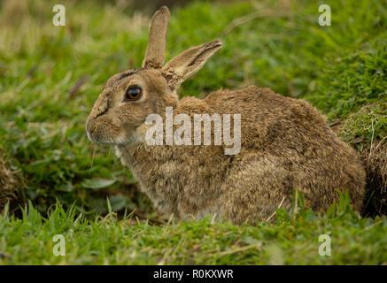 Kaninchen, große, wilde, erwachsene Kaninchen in natürlichen Lebensraum auf der Insel Lunga, Schottland, Großbritannien. Nach links. Wissenschaftlicher Name: Oryctolagus cuniculus - Stockfoto