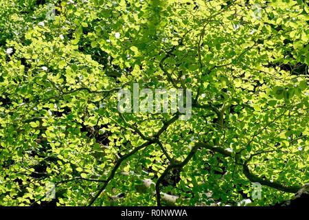 Ein abstraktes Bild der Buche (Fagus sylvatica) Blätter und Zweige beleuchtet. - Stockfoto