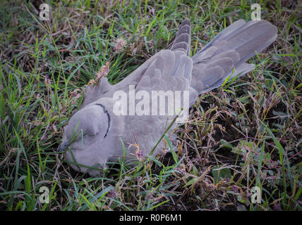 Collared-Dove - Stockfoto