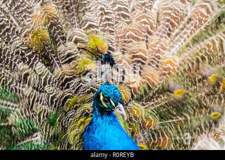 Peacock close-up auf dem Hintergrund der Flauschigen bunten Schwanzfedern - Stockfoto