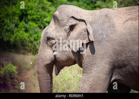 Nahaufnahme von einem jungen Stier Elefant (elephus Maximus indicus), die sich aus Buschland. - Stockfoto