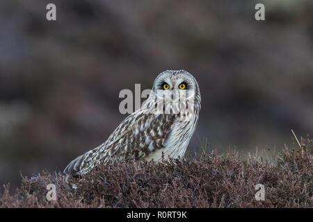 Kurze-eared Oewl, Asio flammeus, im Moor Lebensraum - Stockfoto