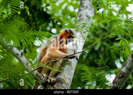 """Eine bedeckte Langur (Trachypitheus pileatus), Lokal """"mukh Pora Hanuman in Satchari National Park. Habiganj, Bangladesch. - Stockfoto"""