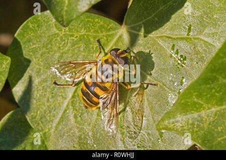 Hoverfly (Myathropa florea) sonnen auf einer Ivy leaf - Stockfoto