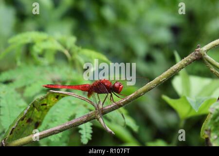 Scarlet Skimmer oder Crimson darter, Rote Libelle auf einem Zweig mit natürlichen, grünen Hintergrund - Stockfoto