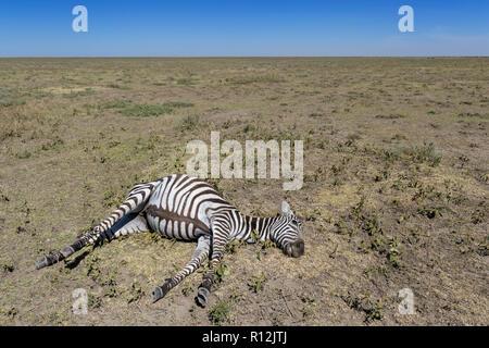 Ebenen Zebra (Equus quagga burchelli) tot, auf trockenen und heißen Savanne, Ngorongoro Conservation Area, Tansania. - Stockfoto