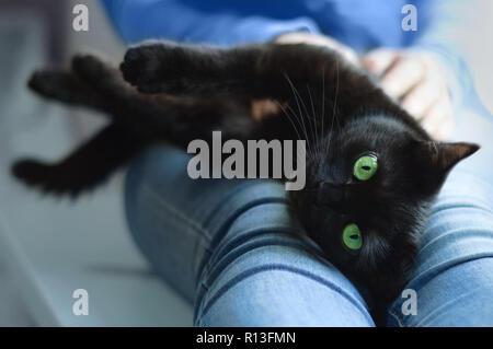 Schwarze Katze liegt in den Händen der Mädchen. Close-up. - Stockfoto