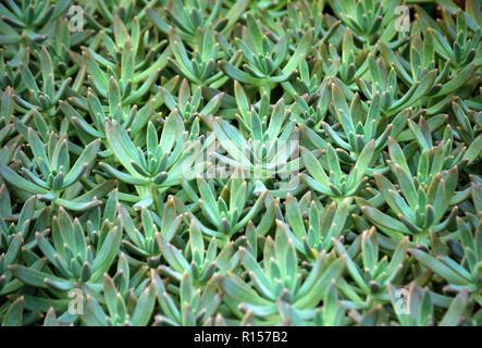 Sedum Sukkulente Pflanze Mit Fleischigen Blättern Stockfoto Bild