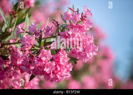 Ein schöner Haufen Nerium oleander Blumen. - Stockfoto