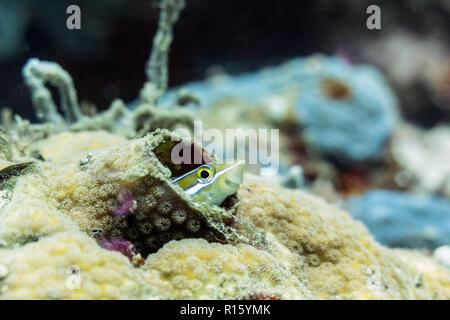 Lächelnd gestreifte Fang Blenny in Korallen, Sipadan, Borneo, Malaysia - Stockfoto