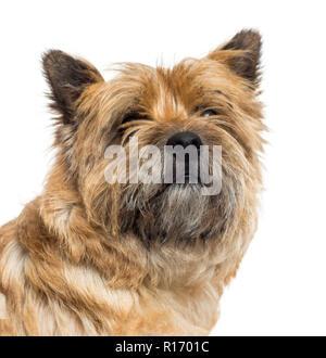 Nahaufnahme eines Cairn Terrier, auf weissem isoliert - Stockfoto