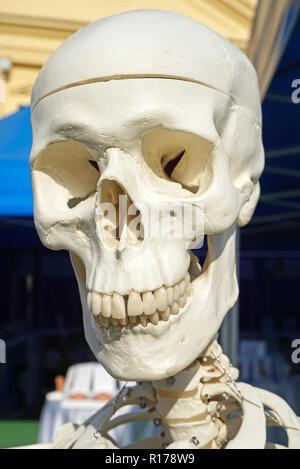 Schädel eines anatomischen Modell - Stockfoto