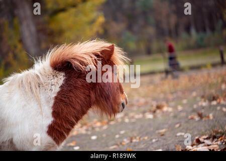 Schöne Miniatur Shetland pony auf dem Bauernhof - Stockfoto