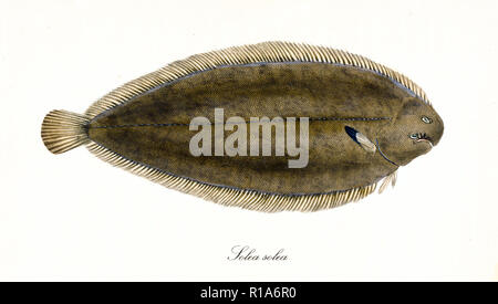 Alten bunten Abbildung: Seezunge (Solea solea), Seitenansicht der Fisch mit seinen typischen flache Form und dunkle Haut, isolierte Element auf weißem Hintergrund. Von Edward Donovan. London 1802 - Stockfoto