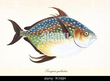Alten bunten Abbildung: Opah (Lampris guttatus), Seitenansicht der Bunten abgerundeten Fisch mit seiner Haut mit weißen Punkten, isolierte Elemente. Von Edward Donovan. London 1802