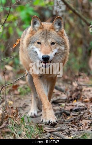 Timber Wolf im Herbst Wald - Stockfoto