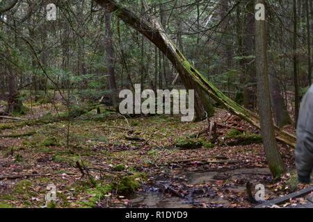 Moosbewachsenen b umen auf einem pfad in der volc n - Baum auf spanisch ...