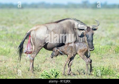 Streifengnu (connochaetes Taurinus) Mutter mit einem neugeborenen Kalb, die versuchen, zu stehen und zu Trinken auf Savanne, Ngorongoro Conservation Area, Tansania. - Stockfoto