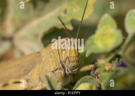 Grüne Heuschrecke versteckt sich hinter Gras in einem Busch. Horizontale. Geringe Tiefenschärfe. Seite Platz für Text - Stockfoto