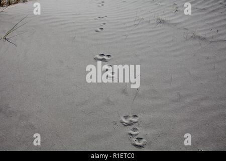 Die Erkundung einer lokalen Strand An einem schönen Frühlingsmorgen. Eine Vielzahl von tierischen Spuren auf verschiedenen Veranstaltungen, Begegnungen, Tagungen. - Stockfoto