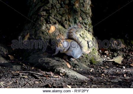 Graue Eichhörnchen (Östliches graues Eichhörnchen/graue Eichhörnchen) Sciurus carolinensis. im St James's Park, London, UK, - Stockfoto