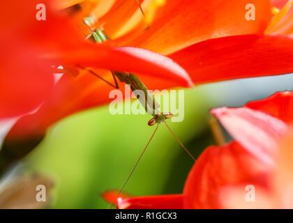 Gottesanbeterin sitzen auf einem Busch Lilie Blume vor der Kamera - Stockfoto