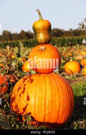 Pumpkin Patch in Olympia, Washington - Stockfoto