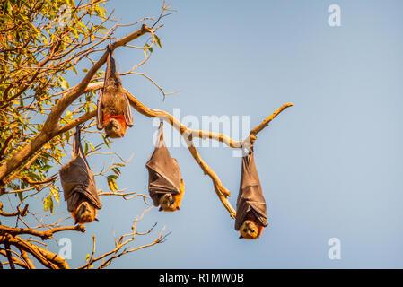 Vier Flughunde auch Flughunde kopfüber aus dem Zweig eines Baumes in Sydney, Australien. Der Himmel ist blau und die Sonne ist accen - Stockfoto