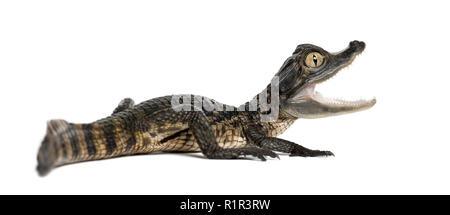 Brillenbär, Caiman crocodilus Caiman, auch als die weißen Caiman oder gemeinsamen Kaiman, 2 Monate alt, gegen weiße Hintergrund bekannt - Stockfoto
