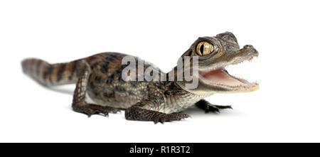 Brillenbär, Caiman crocodilus Caiman, auch als die weißen Caiman oder gemeinsamen Kaiman, 2 Monate alt, Portrait gegen weiße Hintergrund bekannt - Stockfoto