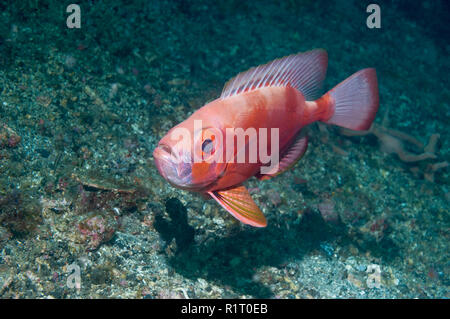 Blochs Großaugenthun [Priacanthus blochii]. Lembeh Sulawesi, Indonesien. - Stockfoto