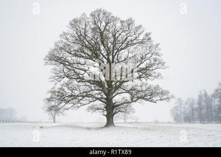 Quercus robur. Eiche im Winter Schnee in der englischen Landschaft. Könige Sutton, Northamptonshire. UK. Eine Szene in den verschiedenen Jahreszeiten genommen - Stockfoto
