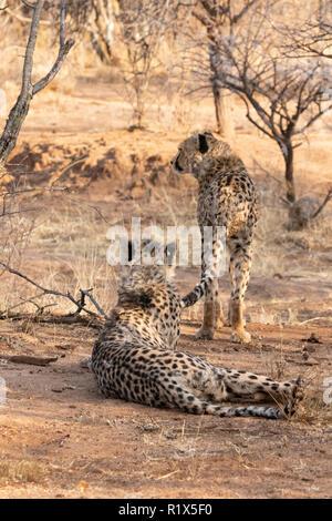 Gepard Acinonyx jubatus, zwei Geparden jagen, Africat Foundation, Okonjima Nature Reserve, Namibia Afrika - Stockfoto