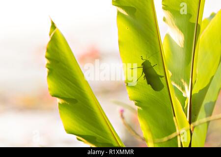 Ein riesiger GRASHÜPFER Tropidacris cristata Schatten auf einem großen Blatt - Stockfoto