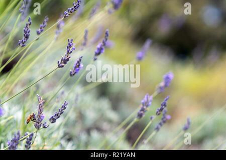 Biene bestäubt am Lavender Farm in Maui, Hawaii - Stockfoto