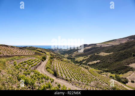 Weinstock der Côte Vermeille, Pyrénées-orientales, Katalonien, Languedoc-Roussillon, Frankreich - Stockfoto