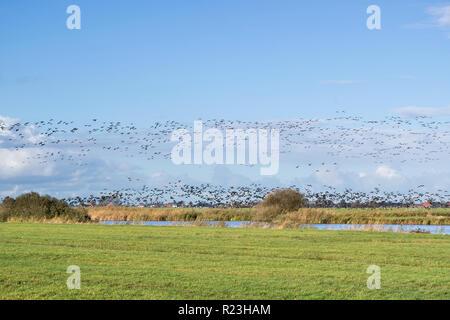 Migration Graugänse unter Berücksichtigung von über holländische Polderlandschaft in der Provinz Friesland - Stockfoto