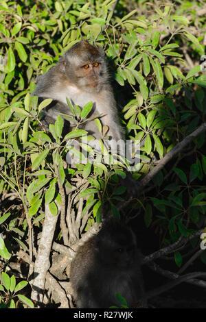 Affe mit orangefarbenen Augen sitzen in der Mitte der grünen Büschen - Stockfoto