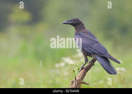 Kolkrabe (Corvus Corax) auf Baumstumpf, Tirol, Österreich - Stockfoto