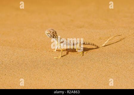 Neugierige Eidechse auf Sand Dune in Wahiba Wüste, Sultanat von Oman. - Stockfoto