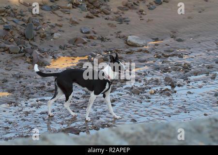 Cornwall, UK. Nov 2018 18. Ein Hund am Strand spazieren in Bude, Cornwall. Credit: Keith Larby/Alamy leben Nachrichten - Stockfoto