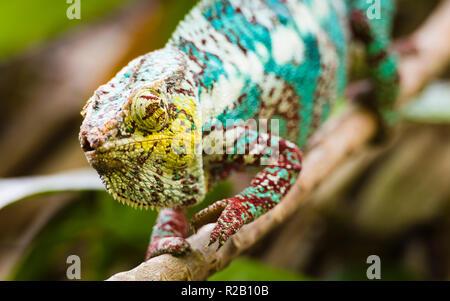 Erwachsenen männlichen Panther chameleon (Furcifer pardalis) in ihrem natürlichen Lebensraum, der Regenwald in Madagaskar.