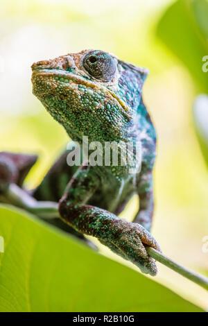 Erwachsenen männlichen Panther chameleon (Furcifer pardalis) in ihrem natürlichen Lebensraum, der Regenwald in Madagaskar. - Stockfoto