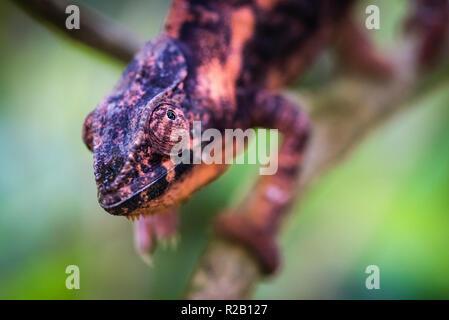 Weibliche Panther chameleon (Furcifer pardalis) in ihrem natürlichen Lebensraum, der Regenwald in Madagaskar. - Stockfoto