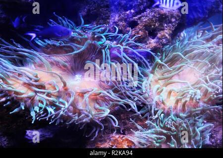 Schönen Hintergrund der Unterwasserwelt. Unterwasser Szene mit Korallenriffen und tropischen Fischen - Stockfoto