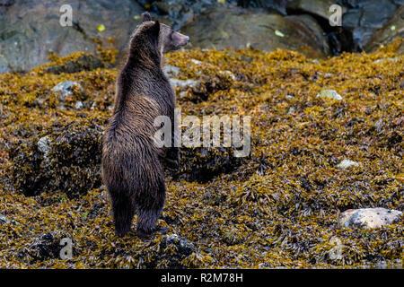 Küsten grizzy Bear stabding auf seinen Hinterbeinen entlang der Ebbe im Knight Inlet, erste Nationen Gebiet, British Columbia, Kanada. - Stockfoto