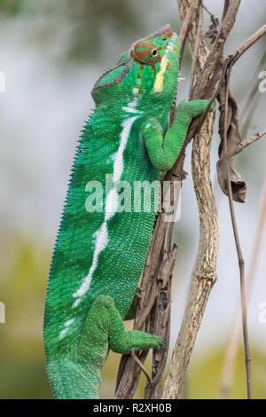 Panther chameleon Furcifer pardalis Männchen auf die Vegetation, die Madagaskar - Stockfoto
